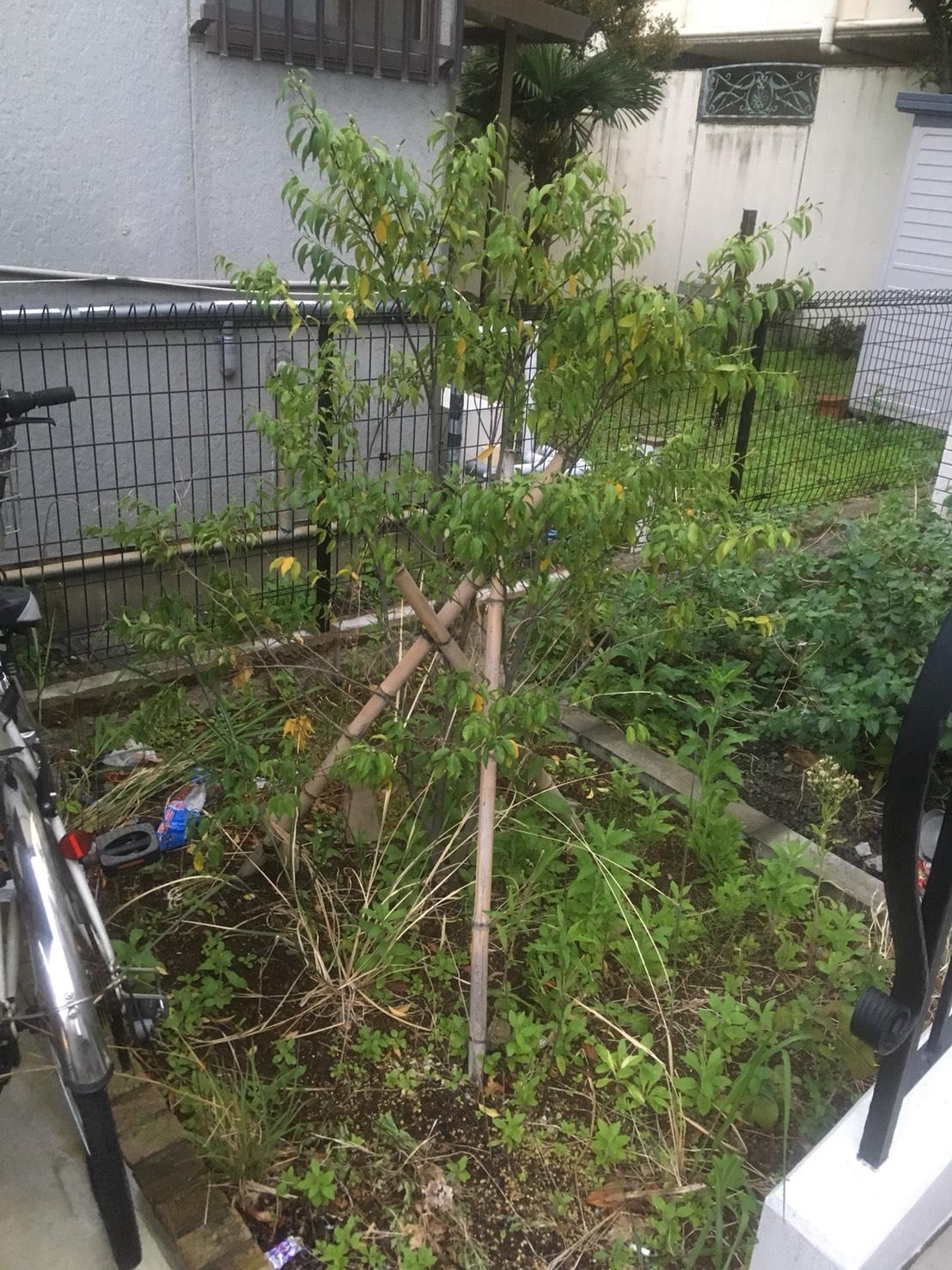 シンボルツリーの植え替え